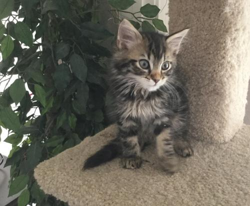 Adopt Savannah Maine Coon Mix From Cats Can Inc In