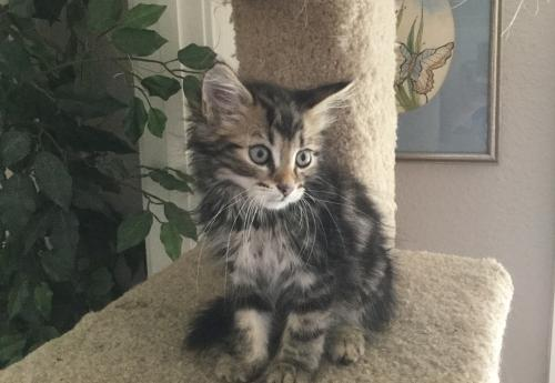 Adopt Savoy Maine Coon Mix From Cats Can Inc In Oviedo Fl