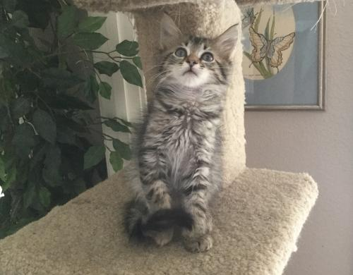 Adopt Columbia - Maine Coon Mix from cats-can inc in Oviedo Fl!