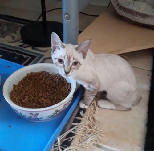 Adopt Boppity The Lynx Point Siamese Kitten From Cats Can Inc In Oviedo Fl