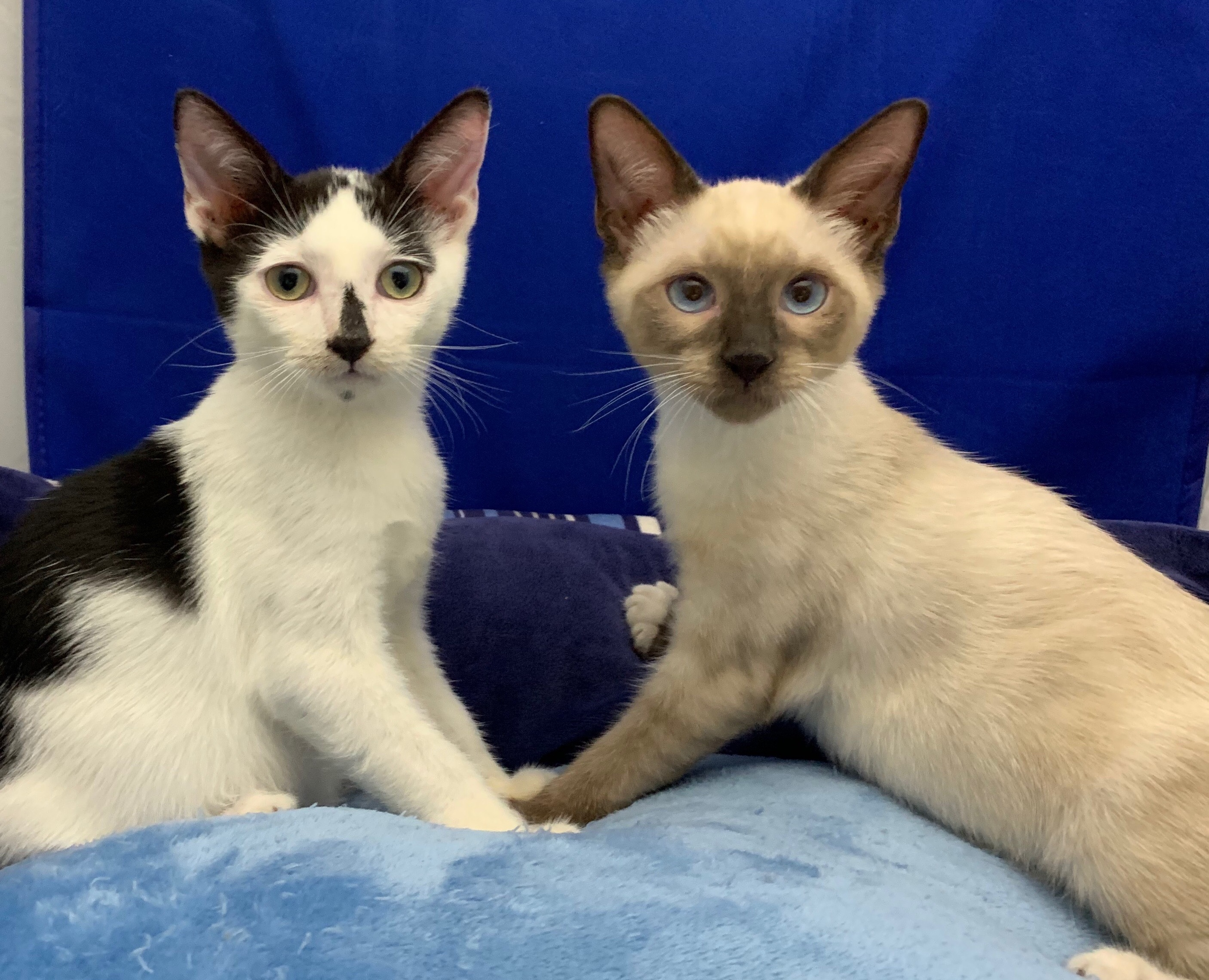 Adopt Charmin The Chocolate Point Siamese From Cats Can Inc In Oviedo Fl