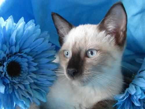 Adopt Pauly The Chocolate Point Siamese From Cats Can Inc In Oviedo Fl