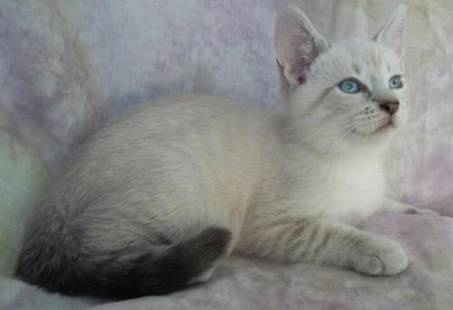 Adopt Tony Lynx Point Siamese Mix from cats-can inc in Oviedo Fl!