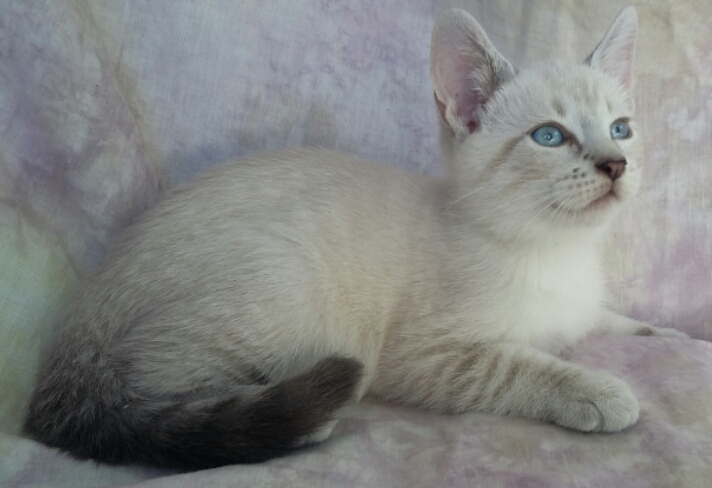 Adopt Tony Lynx Point Siamese Mix From Cats Can Inc In Oviedo Fl