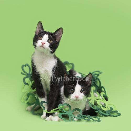 Adopt Pepper - the black and white playful boy from cats-can