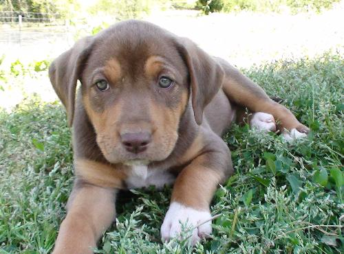Chocolate Lab Mix Puppies