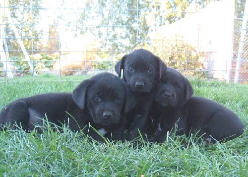 Lab mix puppies - male