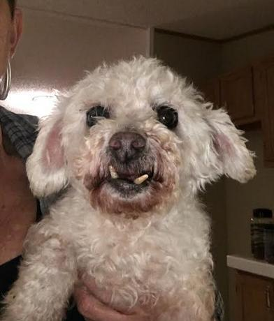 Available Dogs Carolina Poodle Rescue