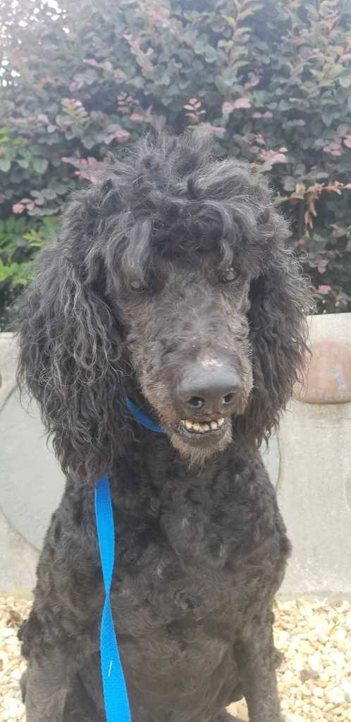 Available Dogs - Carolina Poodle Rescue