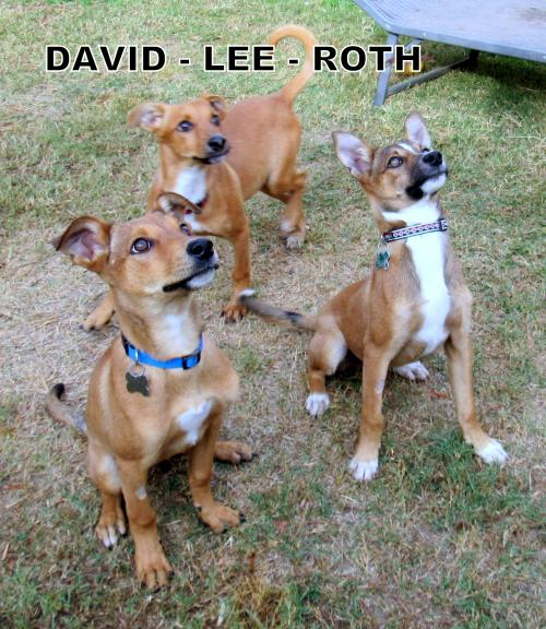 David, Lee and Roth (Puppy)