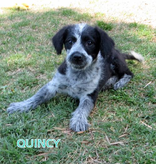 Quincy (Puppy)