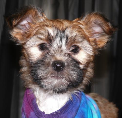 Yorkie Poo Puppyadopteds Web Page