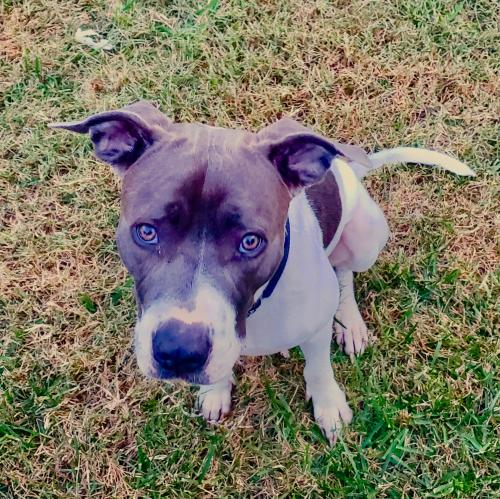 Adopt A Pit Bull In Richmond Virginia Ring Dog Rescue