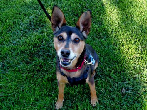 Miniature Pinscher / Mixed (medium coat) Dog