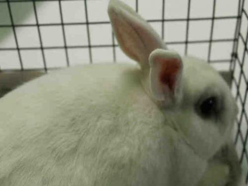 Shorthaired Rabbit (medium coat) Rabbit