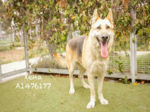 German Shepherd Dog (medium coat) Dog