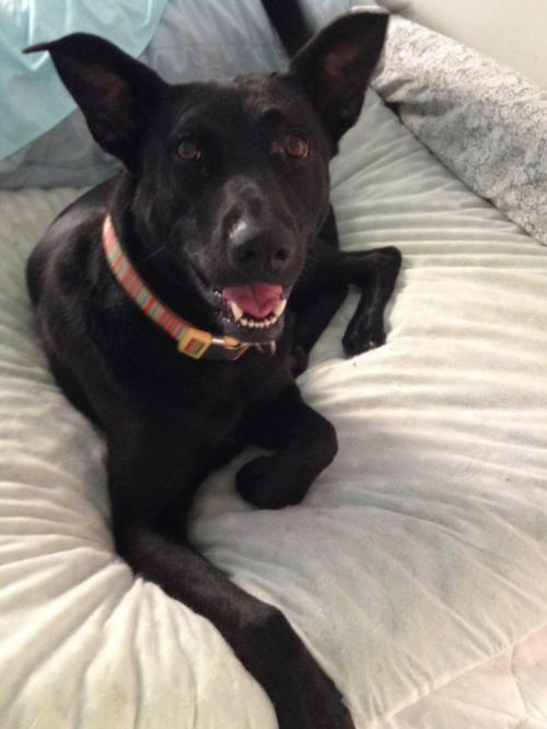 Shepherd / Labrador Retriever / Mixed (short coat) Dog