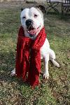 Bella ~ Highly Adoptable Bulldog ~