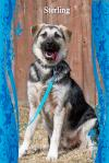 Sterling/ADOPTED!!!