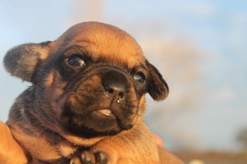 Pug Weenie Puppies Web Page