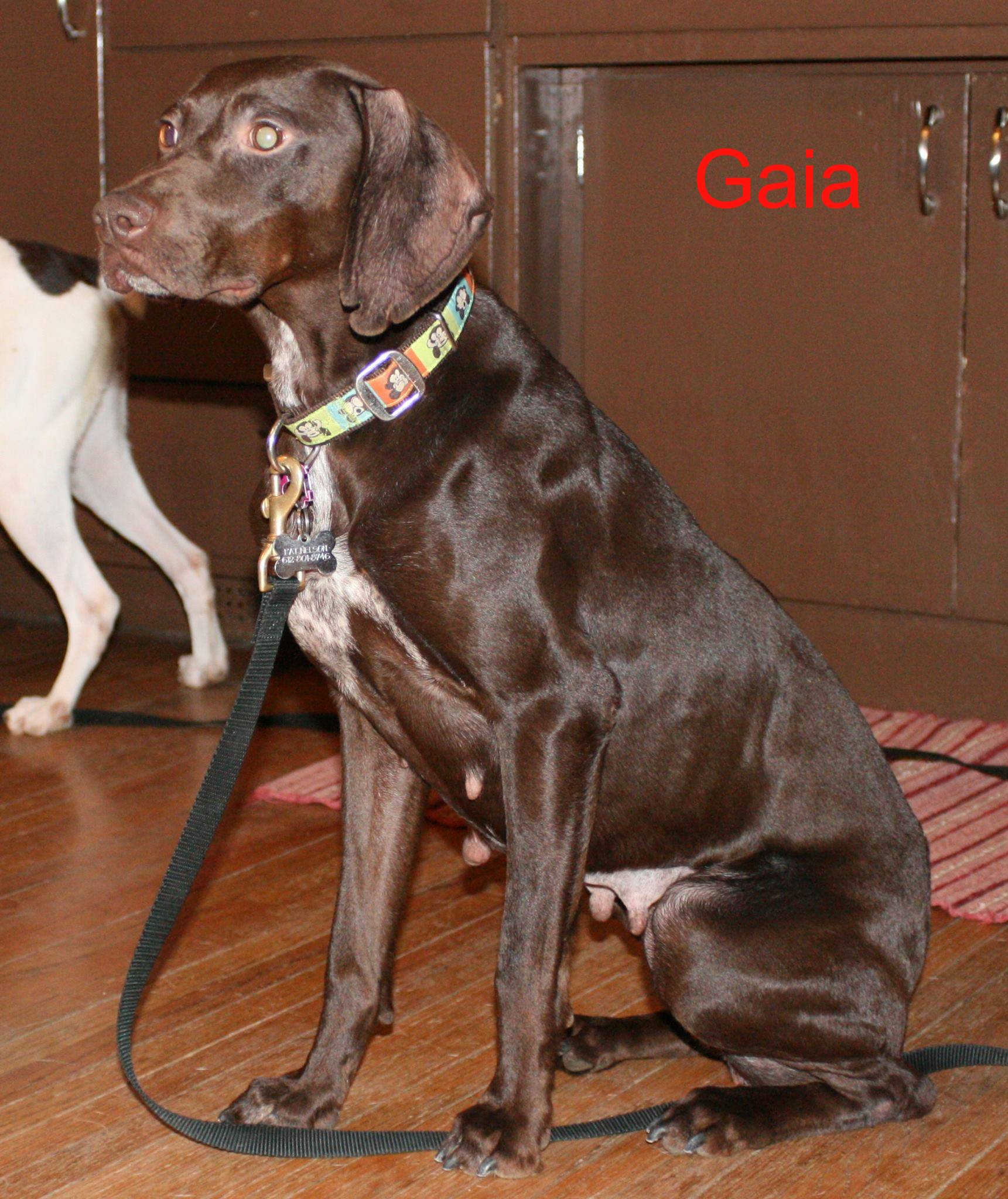 German Shorthaired Pointer - Pictures, Facts, User Reviews