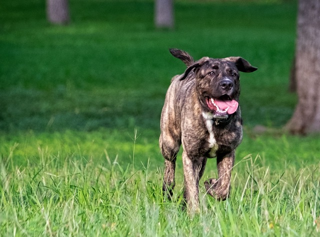 New American Pit Bull Terrier  Pictures Info Reviews