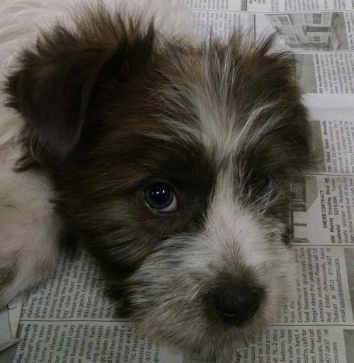 Puppies-Carin Terrier