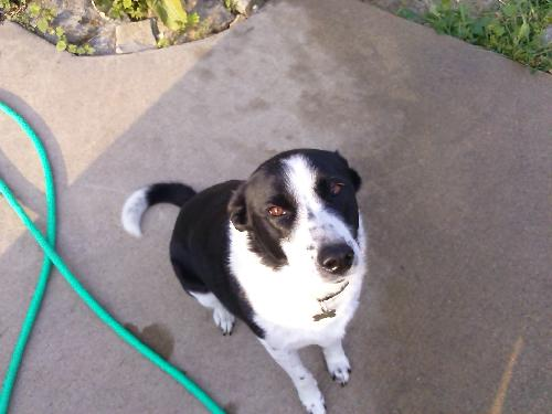 Chloe (Courtesy Listing from Pacific,MO)