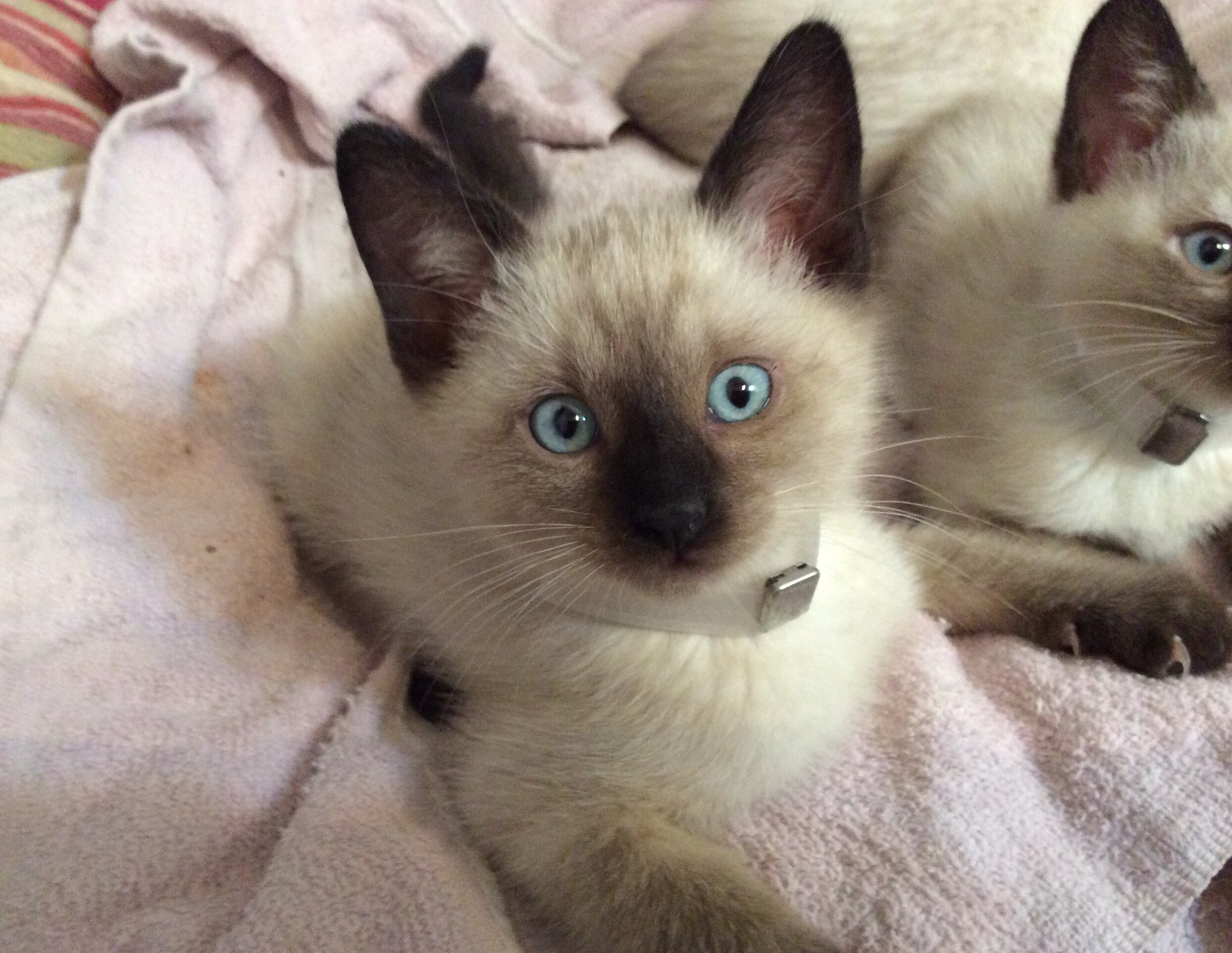 Siamese Cats For Adoption In Illinois