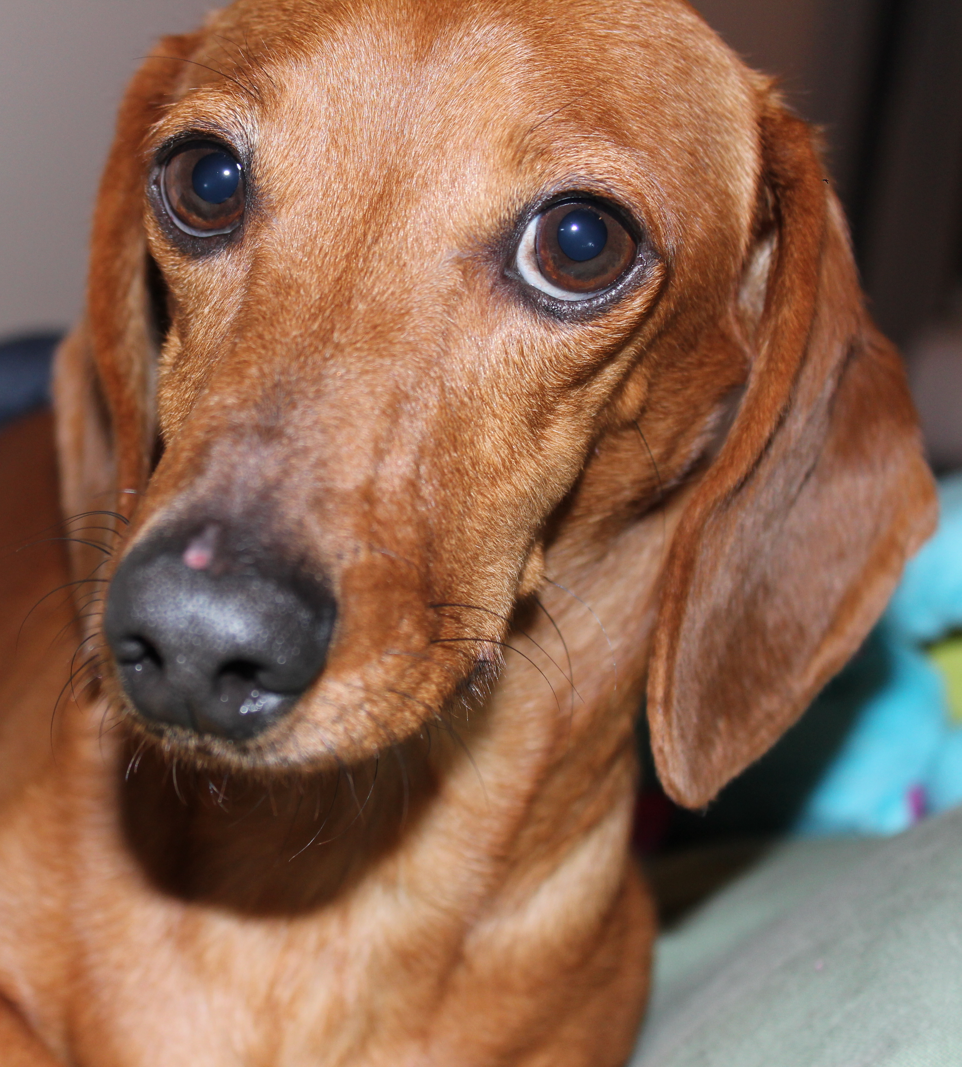 Dachshund - Pictures, Facts, and User Reviews   3114 x 3456 jpeg 4585kB