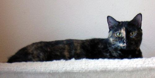 Declawed Dilute Calico Cat For Adoption Near Me