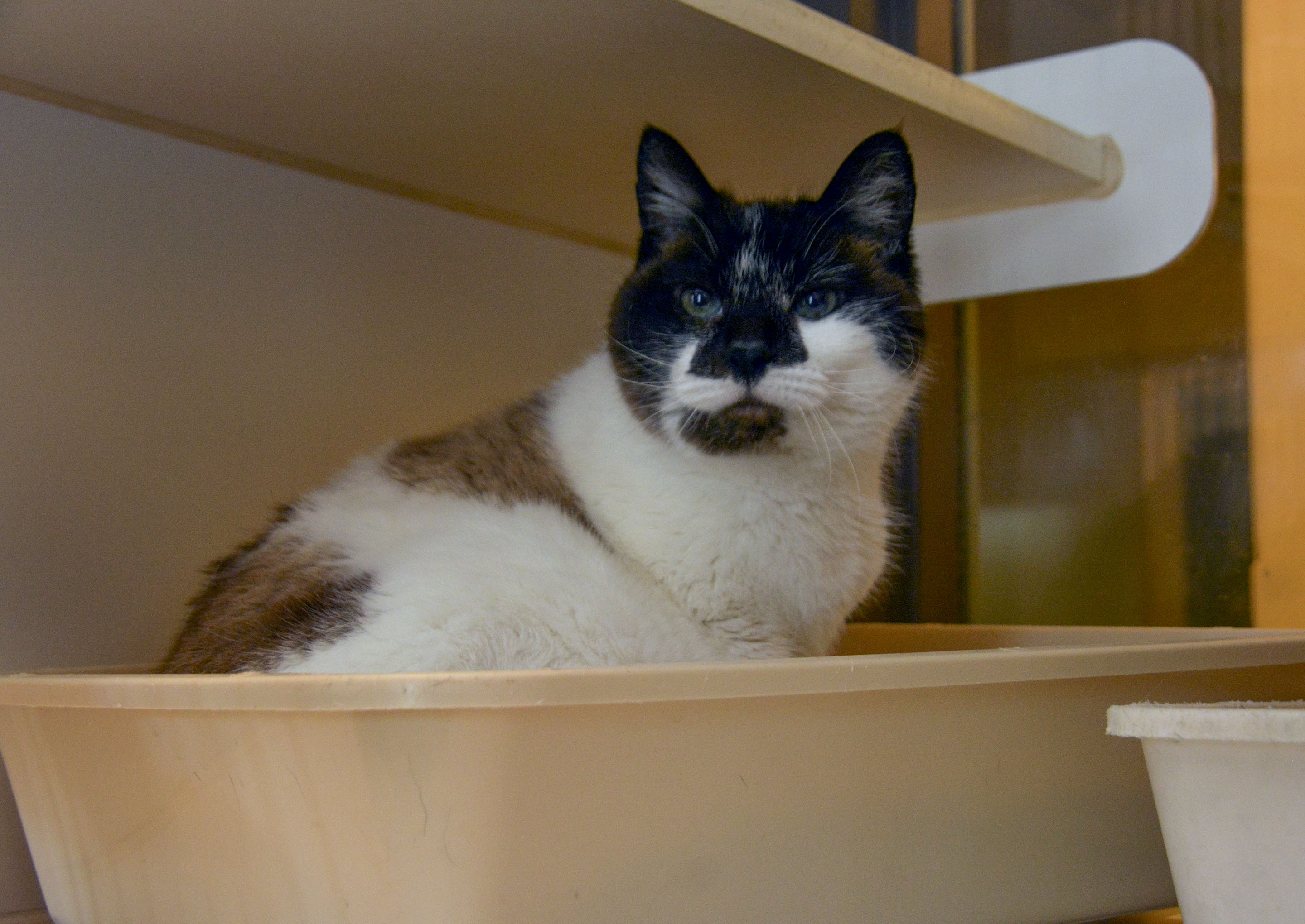 Cats And Kittens in addition World Record Largest Cat in addition Snowshoe besides Maine Coon Cats For Sale Mi besides Exotic Shorthair Cat Breeders Qld. on ragdoll rescue virginia
