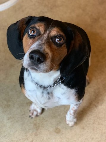 adoptable Dog in Stafford, VA named Fred