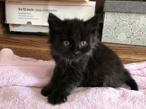 Micah Long Haired Manx Kitten S Web Page