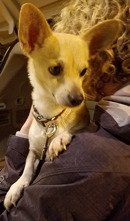 Chihuahua / Corgi / Mixed (short coat) Dog