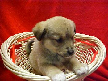 Labrottie Mix Pups Web Page