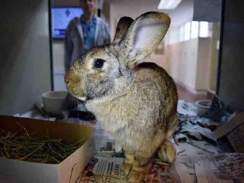 Shorthaired Rabbit / Mixed (medium coat) Rabbit