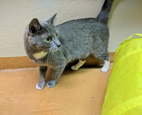 Ash: Female Adult Domestic Short Hair (short coat)