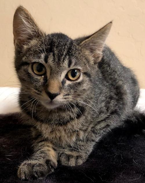 Jeckle: Male Baby Domestic Short Hair