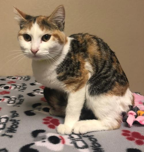 Apple Butter: Female Young Domestic Short Hair (short coat)