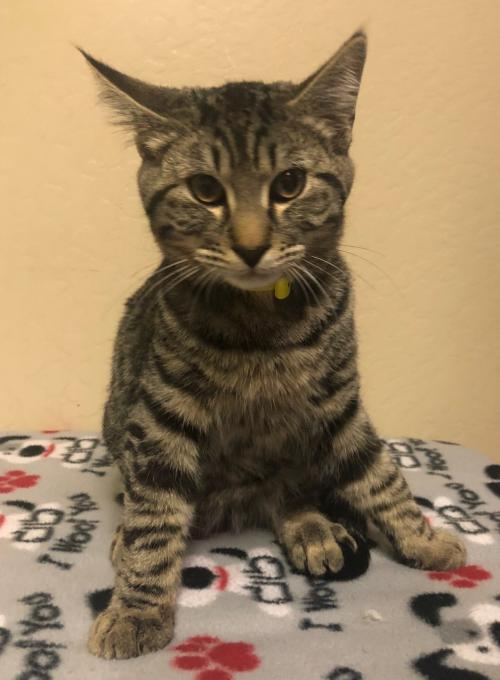 Flapjack: Male Young Domestic Short Hair (short coat)