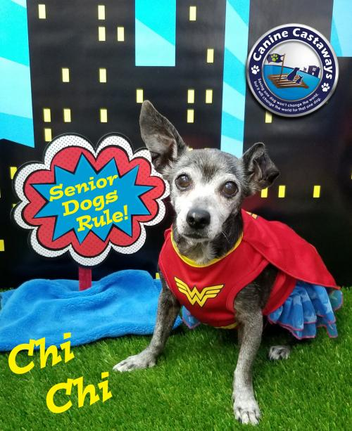 adopt Forever Foster - ChiChi