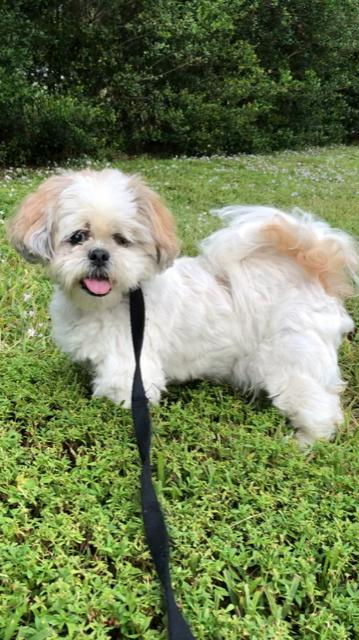 Shih Tzu Rescue Available Dogs For Adoption