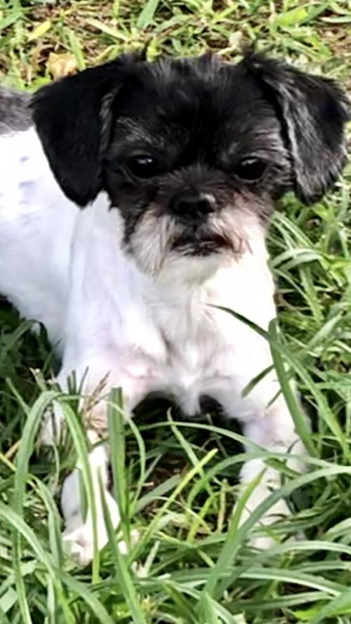 Shih Tzu Rescue | Available Dogs for Adoption