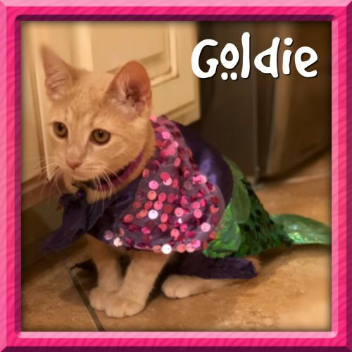 Goldie Kitten