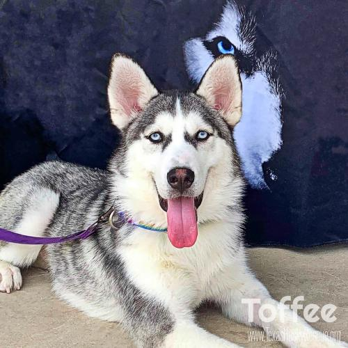 Texas Husky Rescue