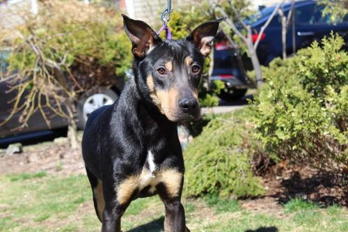 BARRON (Doberman Pinscher mix)