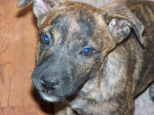 Brindle Dutch Shepherd Male Puppys Web Page