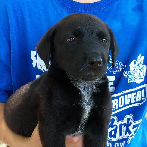 Lab Mix Pup Male