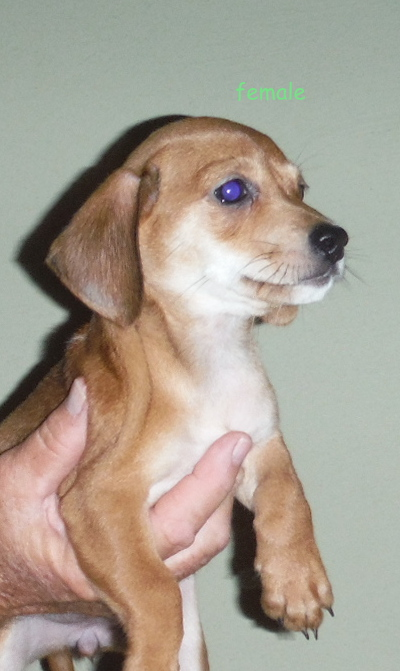 DACHSHUND MIX PUPPY